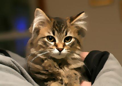 maine coon cat in madison wisconsin