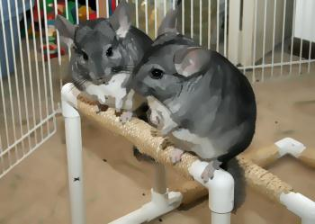 two chinchillas on bar