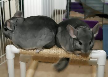 two chinchillas on an uneven bar