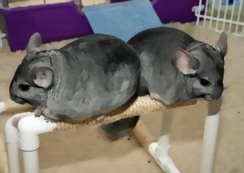 two chinchillas back to back